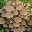 Stock Photo: Myceninclinatmushrooms