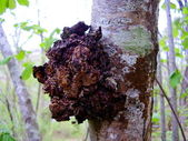 Champignon chaga — Photo