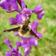 Stock Photo: Bombylius major on Jersey orchid