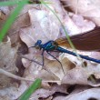 Stock Photo: Dragonfly - Beautiful Demoiselle