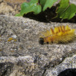 Sycamore Moth Caterpillar — Stock Photo