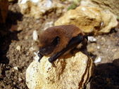 Pipistrelle Bat — Stock Photo