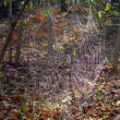 Stock Photo: Giant web of EuropeGarden Spider