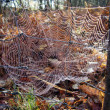 Stock Photo: Web of EuropeGarden Spider