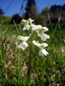 Green Winged Orchid — Stock Photo
