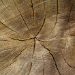 Cross section of oak tree — Stock Photo
