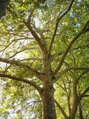 London Plane Tree — Stock Photo