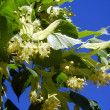 Lime Tree Flowers aka Linden Tree (Tilia europoea) - Stock Photo