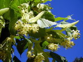 Lime Tree Flowers aka Linden Tree (Tilia europoea) — Stock Photo