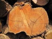 Dwarsdoorsnede van de zoete kastanje log — Stockfoto
