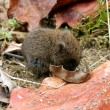 Stock Photo: Baby Field Vole