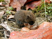 Baby Field Vole — Stock Photo