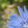 Cichorium Intybus - Stock Photo
