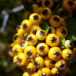 Pyracantha berries - Stock Photo