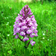 Pyramidal Orchid - Stock Photo