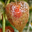 Physalis alkekengi - Stock Photo