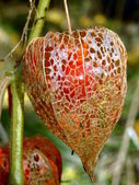 Physalis alkekengi — Stock Photo