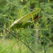 Big green grasshopper — Stock Photo #19652933