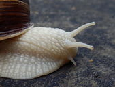 Roman Snail — Stock Photo