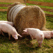 Stock Photo: Litter of piglets