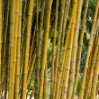 Bamboo — Stock Photo #23912091