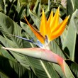 Stock Photo: Bird of Paradise plant