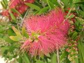 Bottlebrush Plant — Stock Photo