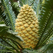 Lebombo Cycad — Stock Photo #24205025