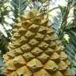 Lebombo Cycad - Stock Photo