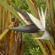 Strelitzia Nicolai - Stock Photo