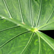 Alocasia macrorrhizos - Stock Photo