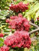 Schotia Tree — Stock Photo
