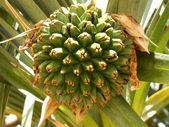 Screwpine Tree (Pandanus Utilis Bory) — Stock Photo