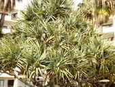 Screwpine (Pandanus Utilis Bory) — Stock Photo