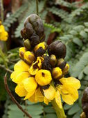 Cassia Didymobotrya — Fotografia Stock