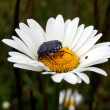 White-spotted Rose Beetle — Stock Photo