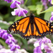 Monarch Butterfly — Foto Stock #26343607