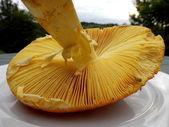 Amanita Caesarea Mushroom — Stock Photo
