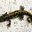 Stock Photo: Juvenile Marbled Newt
