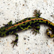 Juvenile Marbled Newt — Photo