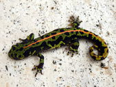 Juvenile Marbled Newt — Stock Photo