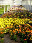 Pansies in a Garden Nursery — Stock Photo