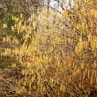 Stock Photo: Catkins - First sign of Spring