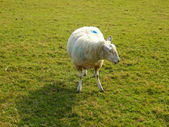 Pregnant Ewe — Stock Photo