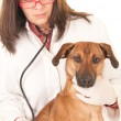 Veterinarian examing dog — Stock Photo