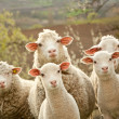 Sheep and lambs — Stock Photo