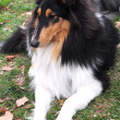 Foto Stock: Sable collie