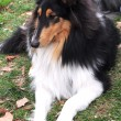 Sable collie - Stock Photo