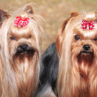 Shih Tzu — Stock Photo #17168133