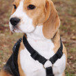 Beagle — Stock Photo #17168291